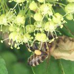 Biene auf Holler